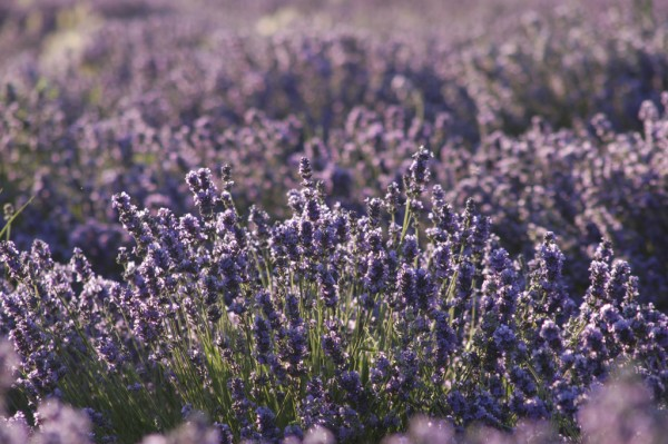 Lavender Essential Oil: The Swiss Army Knife